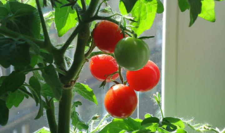 Семя томата для гидропоники курильщики марихуаны картинки